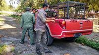 Personel BBKSDA Riau membawa kandang jebak ke Desa Teluk Lanus setelah kejadian harimau terkam manusia. (Liputan6.com/Dok BBKSDA Riau)