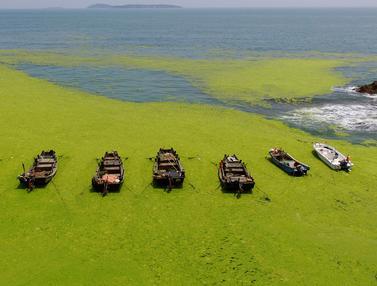 Pantai di China Jadi Lautan Ganggang