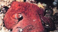 Octopus macropus. (Sumber National Oceanic and Atmospheric Administration (NOAA)/Mohammed Al Momany)