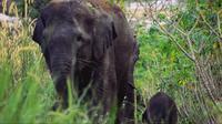 Gajah sumatra bernama Seruni usai melahirkan anaknya pada awal Januari 2018 di Kabupaten Bengkalis. (Liputan6.com/Istimewa/M Syukur)
