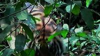 Selama dua jam, tim gabungan BBKSDA Riau berhadapan langsung dengan harimau pemangsa karyawati perusahaan sawit di Indragiri Hilir, Riau. (Liputan6.com/M Syukur)
