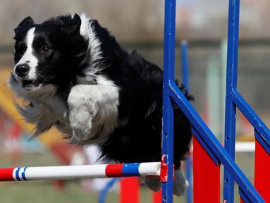 Seekor anjing melompat melewati rintangan saat mengikuti kejuaraan di Distrik Federal Siberia di Krasnoyarsk, Rusia (3/5). Perlombaan ini digelar untuk memperebutkan gelar juara anjing paling tangkas.  (Reuters/Ilya Naymushin)