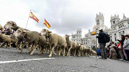 Pengembala menggiring ribuan ternak mereka menuju pusat kota Madrid pada Minggu (20/10/2019). Sekitar 2.000 domba digiring ke jalan-jalan di pusat kota Madri untuk melindungi hak menggembala, migrasi dan menggiring ternak yang semakin terancam oleh perluasan permukiman. (OSCAR DEL POZO / AFP)