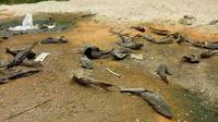 Ikan sapu-sapu berserakan di tepi Sungai Bengawan Solo, tepatnya di Dukuh Nglombo, Desa Tenggak, Kecamatan Sidoharjo, Sragen. (Solopos.com/ M Khodiq Duhri)