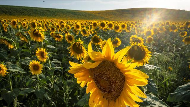 5 Cara Menanam Bunga Matahari Dari Biji Yang Mudah Dipraktikkan Hot Liputan6 Com
