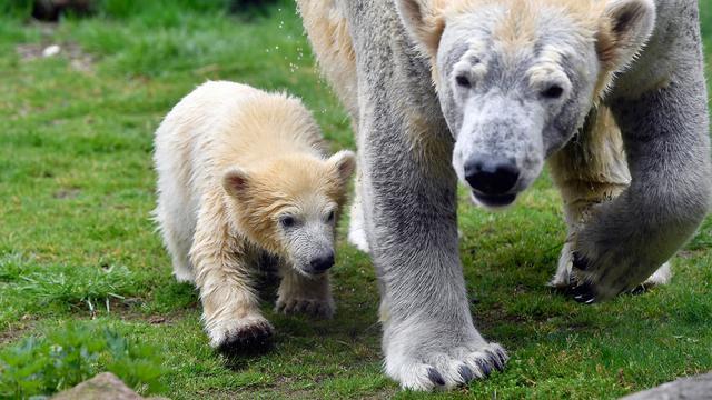 Langkah Pertama Bayi Beruang Kutub