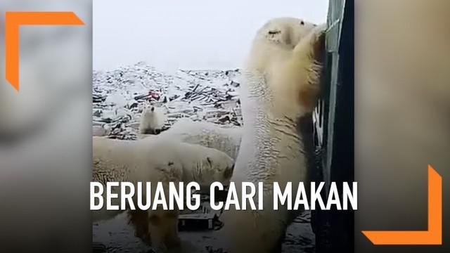 Seorang warga merekam momen saat beberapa beruang kutub mendekati pemukiman warga dan mencari makanan dari tumpukan sampah.