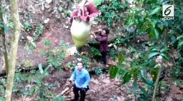 Beredar video dua turis asing tengah merusak bunga bangkai yang tengah mekar di Kabupaten Agam.