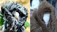 Merpati Jacobin disebut sebagai burung yang paling modis sedunia karena memiliki bulu leher yang unik.