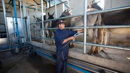 Peternak memerah susu keledai di peternakan di kawasan Tantehue, Chili (17/1). Keledai di peternakan ini sengaja dipelihara untuk diambil susunya. (AFP PHOTO / Kristen Miranda)