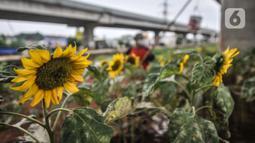 Budi (63) melakukan perawatan kebun bunga matahari di kawasan Kalimalang, Jakarta, Rabu (14/7/2021). Budi beralih profesi menjadi petani benih bunga matahari dengan memanfaatkan lahan kosong yang berada di kolong Tol Becakayu untuk menyambung hidup keluarganya. (merdeka.com/Iqbal S Nugroho)