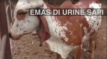 Seorang ilmuwan menemukan kandungan emas dalam urine sapi. Bahkan, urine yang mengandung emas itu bisa dipadatkan.