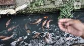 Warga memberi pakan ikan yang dipelihara di saluran air atau selokan di Jalan Lorong 103, Koja, Jakarta, Senin (1/3/2021). Warga setempat menyulap selokan sepanjang 100 meter tersebut menjadi kolam budi daya berbagai jenis ikan. (merdeka.com/Iqbal S. Nugroho)
