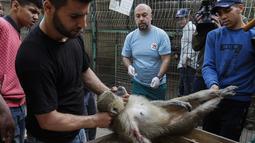 Anggota organisasi kesejahteraan hewan internasional Four Paws membius kera saat akan dievakuasi dari kebun binatang di Rafah, Jalur Gaza, Palestina, Minggu (7/4). Hewan-hewan itu dibius untuk perjalanan 300 kilometer melalui wilayah Israel, yang telah mengizinkan proses evakuasi. (SAID KHATIB/AFP)