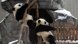 Dua ekor panda raksasa asyik bermain usai salju turun di Pusat Konservasi dan Penelitian Panda Raksasa China basis Shenshuping di Cagar Alam Nasional Wolong, Provinsi Sichuan, China (17/12/2020). Cagar Alam ini didirikan tahun 1963 dengan ukuran awal sekitar 20.000 hektar. (Xinhua/Jiang Hongjing)
