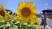 Satu dari 20 ribu bunga matahari di Tokyo, memberikan senyuman.