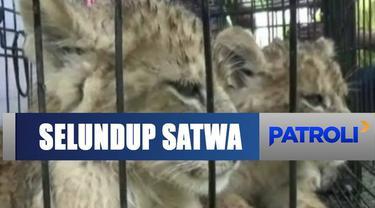 BBKSDA dan Polda Riau berhasil gagalkan penyelundupan satwa dilindungi.