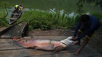 Nelayan membawa ikan arapaima atau Pirarucu ke dermaga setelah berhasil ditangkap dari Sungai Amazon di Brasil, 20 September 2017. Selain bernapas dengan insang, ternyata araipama juga bisa bernapas di udara dalam kondisi tertentu.  (CARL DE SOUZA/AFP)