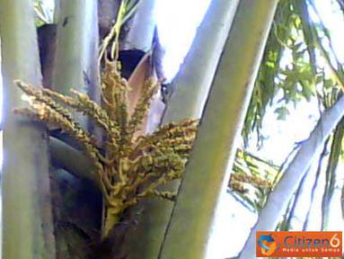 Citizen6, Trenggalek: Sekilas Pohon Kelapa ini terlihat biasa saja, tapi jika diperhatikan lagi, bunga kelapa tumbuh dua tangkai dalam satu pelepah. Pohon kelapa ini ada di Kecamatan Pule, Kabupaten Trenggalek, Jawa Timur. (Pengirim: Yusak)