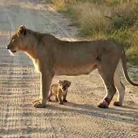 Anak singa itu terlihat berdiri gagah di dekat induknya dan kemudian mengeluarkan suara paling menggelegar yang bisa dihasilkannya.