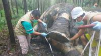 Petugas BBKSDA Riau memeriksa bangkai gajah mati akibat perburuan liar untuk diambil gadingnya. (Liputan6.com/M Syukur)