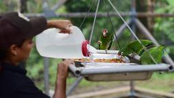 Ahli biologi Iris Rodriguez memberi makan burung beo Puerto Rico di pusat penangkaran di Iguaca Aviary, El Yunque, Puerto Rico, (6/11). Departemen Sumber Daya Alam Puerto Rico berupaya menyelamatkan populasi beo Puerto Rico. (AP Photo/Carlos Giusti)
