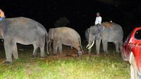 Dua gajah latih mengevakuasi gajah sumatra remaja yang salah satunya diberi nama Gajah Kaesang oleh BBKSDA Riau. (Liputan6.com/Dok BBKSDA Riau)