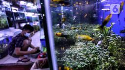 Ikan hias terlihat di Sentra Ikan Hias, Dinas Kelautan, Pertanian dan Ketahanan Pangan DKI Jakarta, Senin (9/8/2021). Penurunan penjualan ikan hias karena pemerintah melakukan pembatasan aktivitas masyarakat untuk mencegah kerumunan. (Liputan6.com/Johan Tallo)