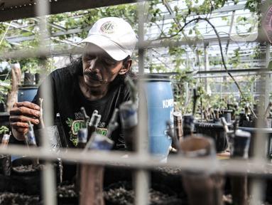 Yatno memeriksa bibit pohon anggur di Kebun Imut Si Nakal, Kelurahan Malaka Sari, Jakarta, Minggu (7/3/2021). Yatno yang berprofesi sebagai petugas PPSU Kelurahan Malaka Sari ini menyulap lahan bekas pembuangan sampah jadi kebun budi daya bibit anggur. (merdeka.com/Iqbal S. Nugroho)
