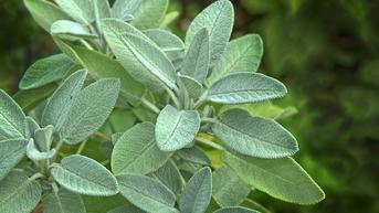 Sage adalah Tanaman Herbal, Kenali 10 Manfaatnya