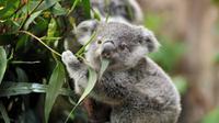 Ilustrasi Koala (iStock)