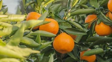 Ilustrasi jeruk mandarin Jepang