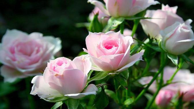 Cantik Bikin Kagum Inilah Pohon Mawar Putih Terbesar Di Dunia Lifestyle Fimela Com