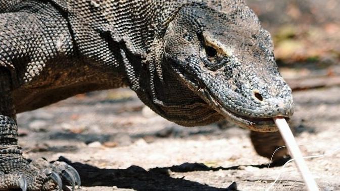 Cerita Galau Komodo dan Proyek Jurassic Park di Pulau ...