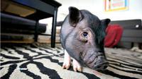 Suatu lembaga penelitian genetika di Shenzen melakukan rekayasa genetika untuk menghasilkan hewan babi mini peliharaan.
