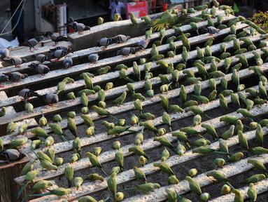 Burung-burung Parkit saat makan di rumah Joseph Sekar di Chennai, India, Jumat (17/3). Joseph Sekar telah memelihara sekitar 8000 burung parkit selama hampir 10 tahun. (AFP PHOTO / ARUN Sankar)