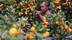 Seorang pedagang saat memilih jeruk jenis Kumquat dan Chusa yang di impor dari Cina di Jakarta, Rabu (27/1). Permintaan Jeruk asal Cina tersebut meningkat 100 % menjelang imlek. (Liputan6.com/Angga Yuniar)