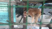 Satwa dilindungi, kukang, yang dievakuasi BBKSDA Riau dari rumah dinas Kapolres Pelalawan. (Liputan6.com/M Syukur)