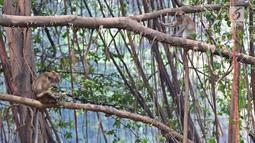 Aktivitas monyet di Suaka Margasatwa Muara Angke, Jakarta, Selasa (17/9/2019). Suaka Margasatwa Muara Angke akan dikembangkan sebagai pusat edukasi mangrove. (Liputan6.com/Herman Zakharia)