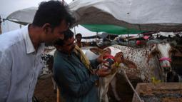 Pembeli memeriksa gigi seekor sapi di pasar ternak yang disiapkan untuk hewan kurban pada Hari Raya Idul Adha di Karachi, Pakistan pada Jumat (10/7/2020). Idul Adha merupakan salah satu hari raya umat Islam di dunia yang identik dengan penyembelihan hewan kurban bagi yang mampu. (Asif HASSAN/AFP)