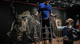 Pakar asal Italia merakit kerangka dinosaurus, Diplodocus sebelum mulai dilelang di Balai lelang Drouot, Paris, Jumat (6/4). Dua fosil hewan purbakala tersebut akan dilelang pada 11 April mendatang. (STEPHANE DE SAKUTIN/AFP)