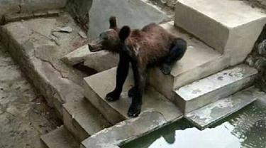 Banjir Kritik, Beruang Cokelat Kurus Seperti Kelaparan