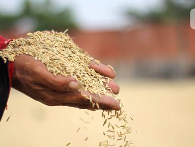 Pekerja menunjukkan gabah saat penjemuran di Kabupaten Tangerang, Banten, Selasa (14/7/2020). Selama semester I 2020, Perum Bulog telah merealisasikan serap gabah petani secara langsung sebanyak 700 ribu ton setara beras guna meningkatkan ketahanan stok cadangan beras. (Liputan6.com/Angga Yuniar)