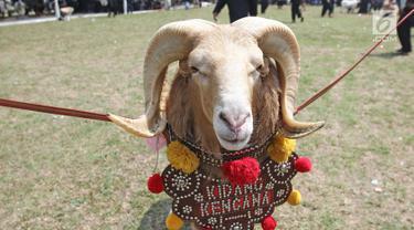 Seekor domba bersiap bertanding ketangkasan domba Garut dalam acara Jambore Peternakan Nasional 2017 di Buperta Cibubur, Jakarta, Sabtu (23/9). Ketangkasan domba Garut diikuti sebanyak 160 ekor domba. (Liputan6.com/Herman Zakharia)