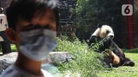 Tingkah giant panda di Istana Panda Taman Safari Indonesia, Cisarua, Kabupaten Bogor, Jawa Barat, Sabtu (26/9/2020). Kunjungan wisatawan ke kawasan wisata Puncak dan sekitarnya turun 40-50 persen akibat terdampak pandemi COVID-19 dan PSBB DKI Jakarta. (merdeka.com/Arie Basuki)