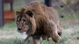 Saeed (2) yang berhasil diselamatkan dari Suriah dan dilepaskan ke kandang di Lionsrock Lodge and Big Cat Sanctuary, Bethlehem, Afrika Selatan, Senin (26/2). Four Paws menyelamatkan dua singa dari zona perang di Irak dan Suriah. (AP Photo/Themba Hadebe)