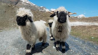 Fakta Domba di Serial Shaun the Sheep, Aslinya Harga Hewan Ini Rp200 Juta