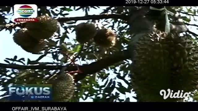 Kebun yang berlokasi tak jauh dari pusat kota di Jember, Jawa Timur, menawarkan sensasi wisata spesial untuk mengisi libur akhir tahun Anda. Tak hanya menikmati udara segar, pengunjung juga bisa merasakan sensasi memetik durian langsung dari pohon da...
