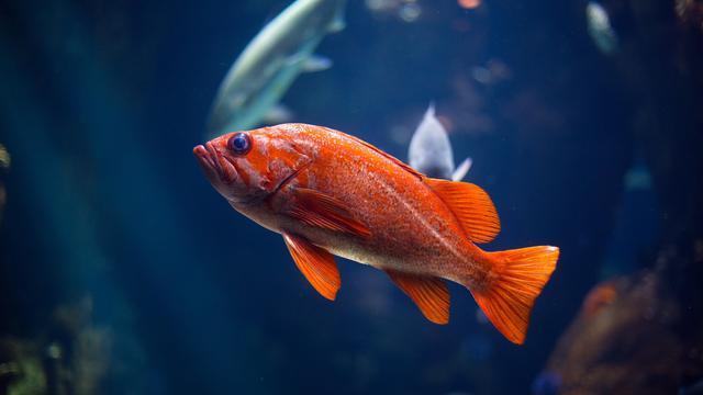 Jenis Ikan Hias Paling Laris Selama Pandemi