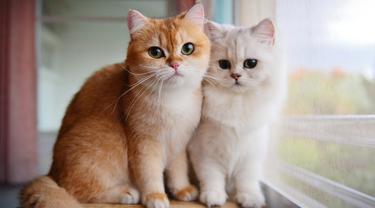 5 Ras Kucing Terpopuler yang Tepat Dijadikan Hewan Peliharaan untuk Para Pemula